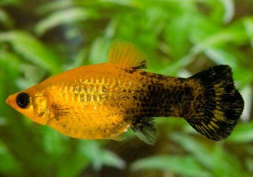 Моллинезия желто-черная (Mollienesia yellow black)