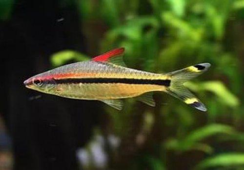 Барбус Денисона (Puntius denisoni) 4см