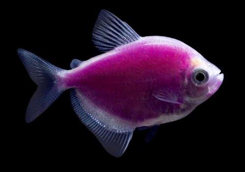 Тернеция фиолетовая (Galactic Purple Tetra GloFish)